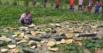 The miscreants destroyed the melons worth lakhs of rupees by forbidding them to eat fao