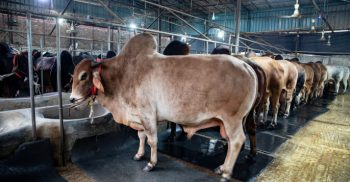 Bhairab farmers worry over selling sacrificial cattle